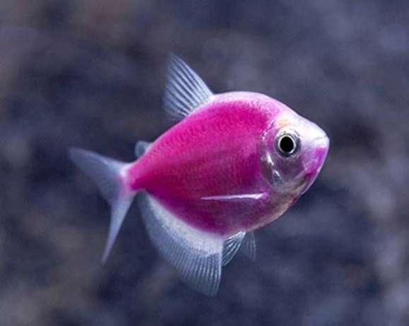 Тернеция цветная GloFish (размер до 5 см.)